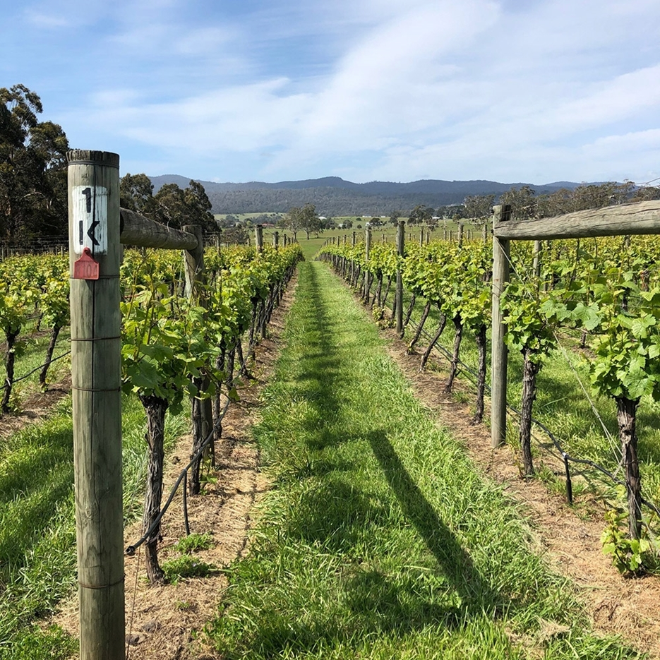 Why Tasmania is one of the best wine regions for Pinot?